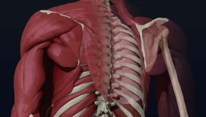 the skeleton and muscles of the back, shoulders and upper arms