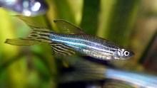 A zebrafish (danio rerio)