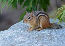 close-up of a chipmunk