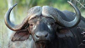 close up on the face and head of a water buffalo