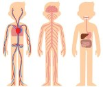 cartoon rendering of the human circulatory, nervous and digestive systems