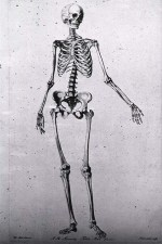 Skeleton of a female, standing, facing right, left arm extended