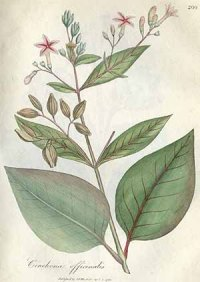 botanical illlustration: branch, leaves, small reddish flowers