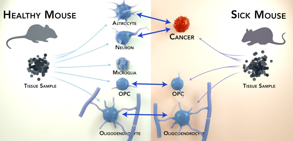 Arrows lead from a tissue sample from a healthy mouse  to multiple cell types (astrocyte, neuron, microglia, OPC, and oligodendrocyte).  Arrows also lead from a tissue sample of a sick mouse to cell types (cancer, OPC, and oligodendrocyte).  In the center of the figure, arrows connect both the astrocyte and neuron to the sick mouse's cancer cell suggesting the cancer is the same cell type as the astrocyte and neuron.
